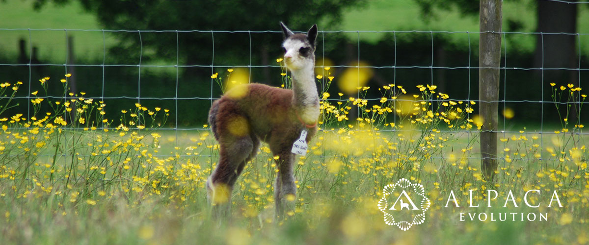 About Alpacas - Lone Grey Cria